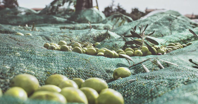 La raccolta delle olive in autunno in Molise